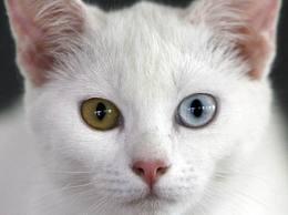 Kao-mani cat