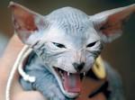 10 самых необычных кошек в мире: красивые, оригинальные и редкие