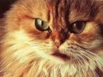 Несколько самых злых пород кошек с фото